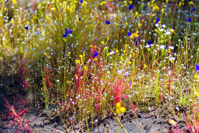 Drosera Linn indica e Utricularia l bifida Bonito imagens de stock royalty free