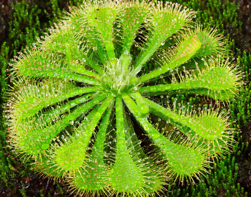 Drosera roślina fotografia stock