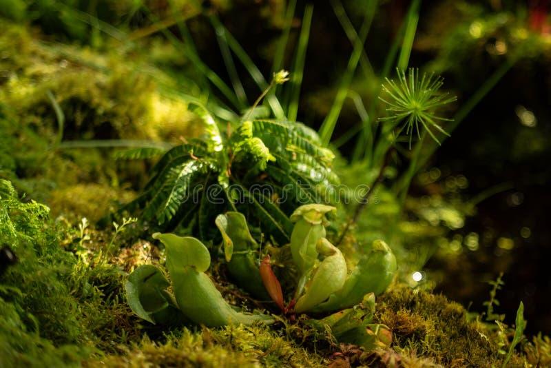 drosera, rotundifolia Redondo-con hojas del Drosera, en los peatmoss, drosera, o planta del rocío, o lustwort, en un pequeño carn fotografía de archivo libre de regalías