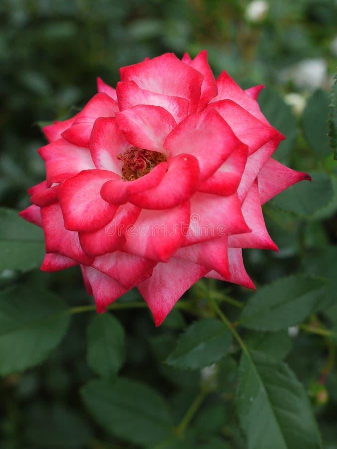 Drottning av blommor, rosa färgros med gräsplansidor på en lång taggig stam fotografering för bildbyråer