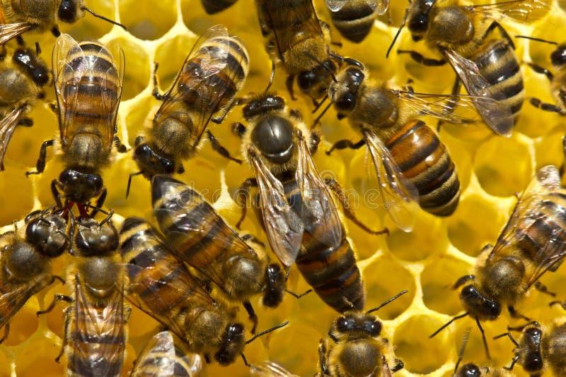 Drottningbiet lägger ägg i honungskakan arkivbilder