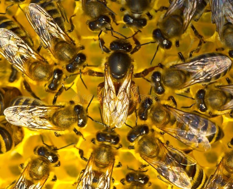 Drottningbiet lägger ägg i honungskakan arkivbild