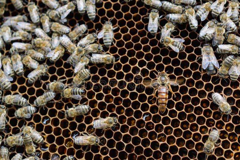 Drottningbin i honungskakor lägger ägg Biodling arkivfoto