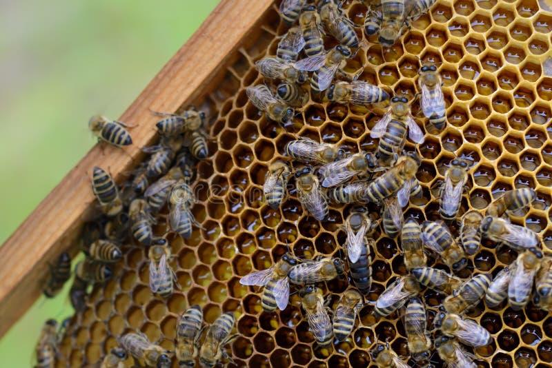 Drottningen av bin omges av arbetebin på en honungcell arkivfoto