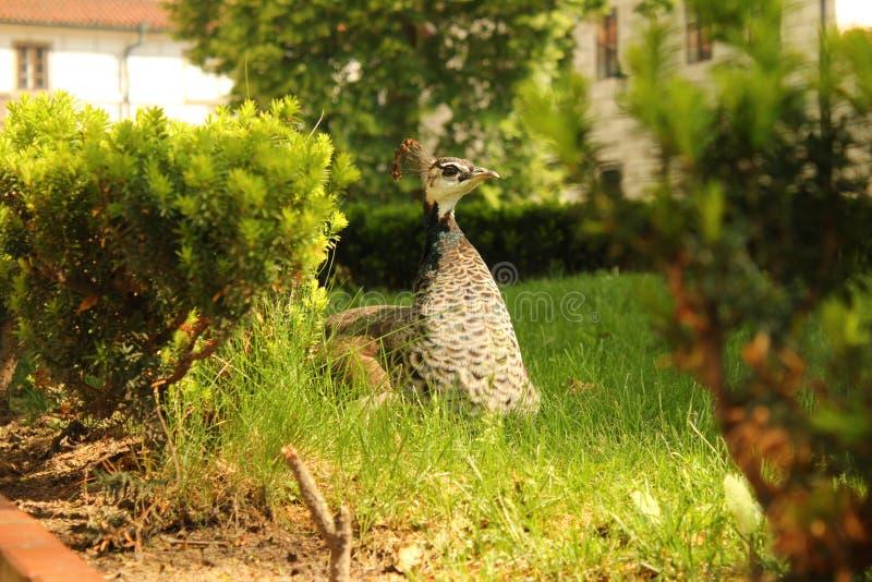Drottningen av trädgården fotografering för bildbyråer