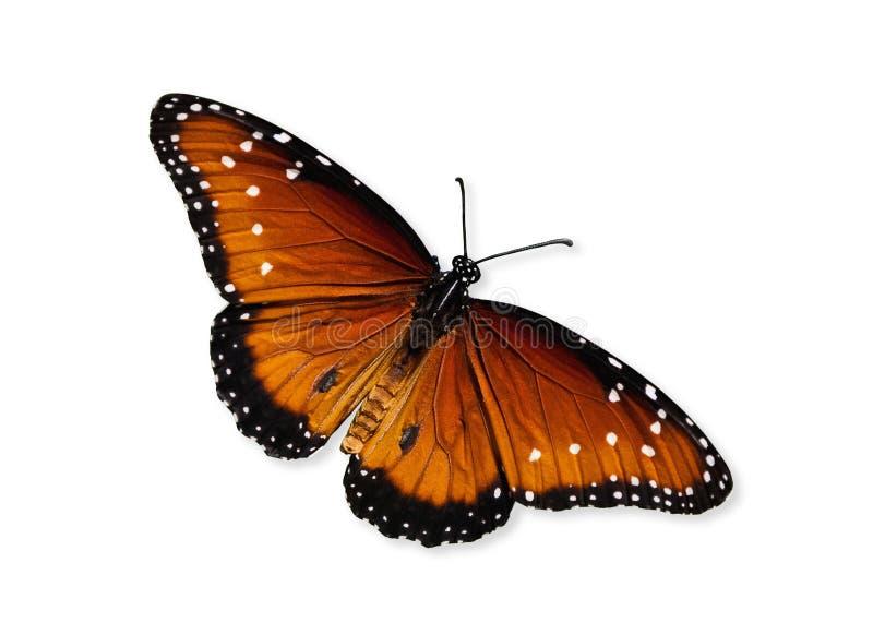 Drottningfjäril (Danausgilippusen) arkivbild