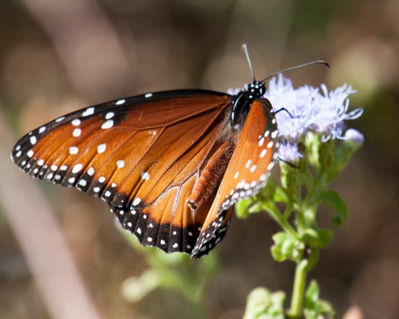 Drottningfjäril i beskickning, Texas arkivbild
