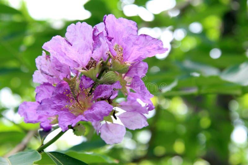 Drottnings blomma, Inthanin blomma arkivbild