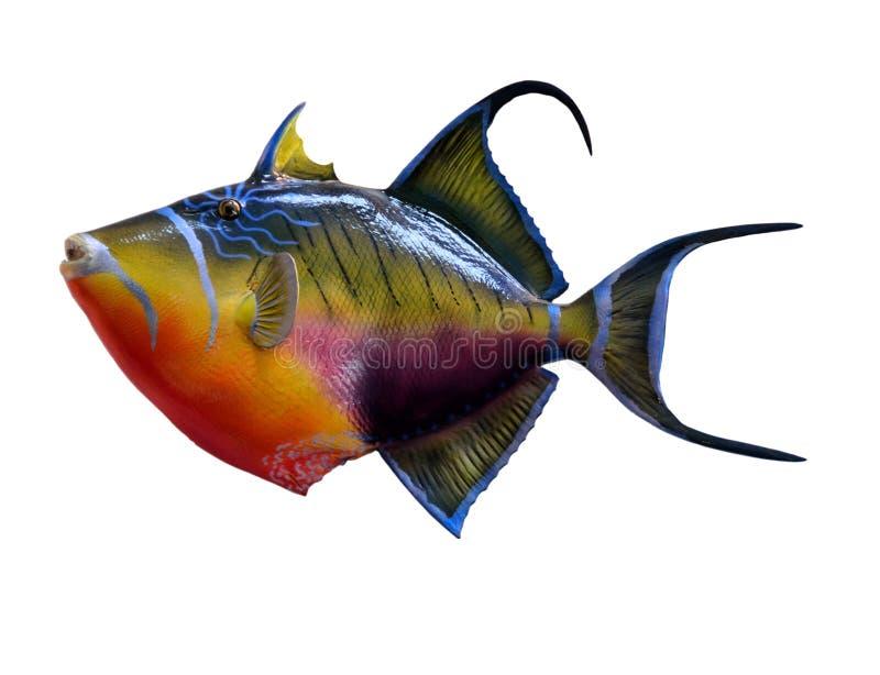 Drottningtriggerfish royaltyfria foton