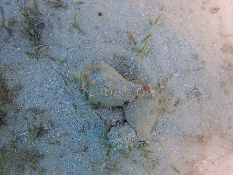 Drottningtrumpetsnäcka som parar ihop i havet fotografering för bildbyråer