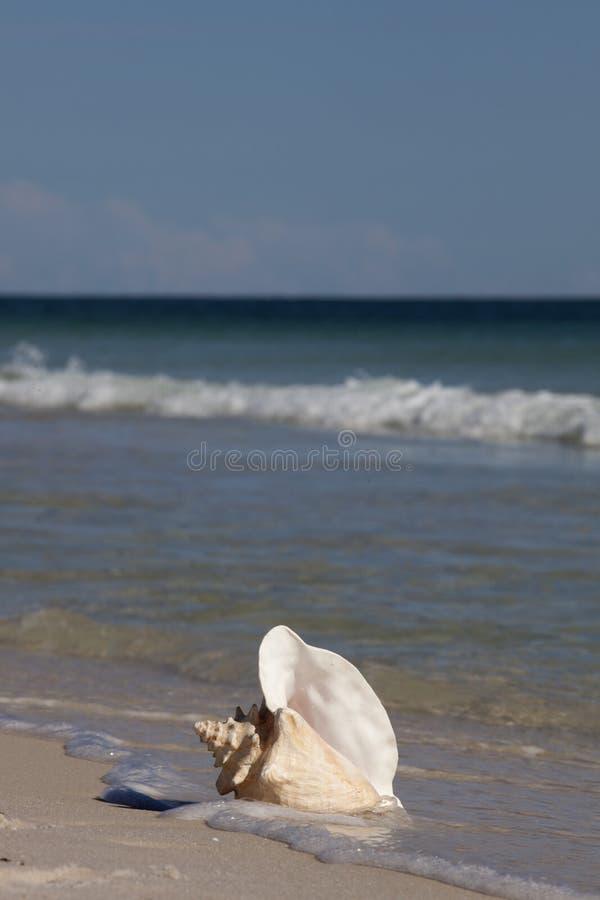 Drottningtrumpetsnäckaskal på stranden fotografering för bildbyråer
