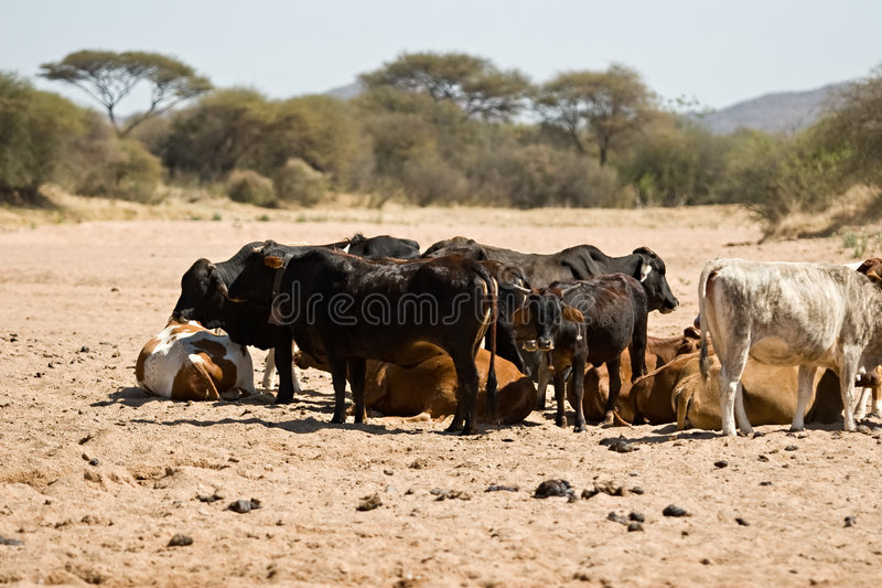 Download Drought stock photo. Image of thirsty, bulls, drought - 2930612