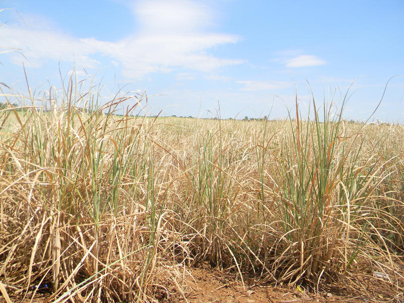 Drought affected sugarcane in field. Chiredzi Zimbabwe,March 26 2015.A drought affected sugarcane field wilting in a cane plantation.El Nino induced drought has stock photo