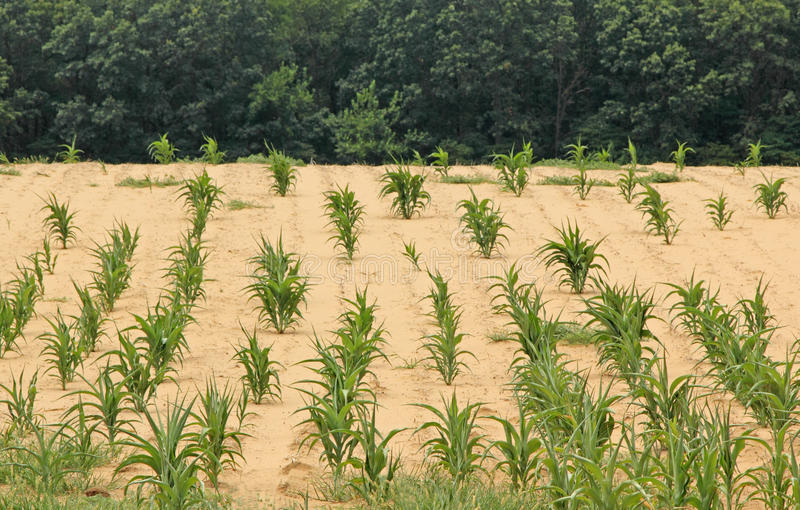 Download Drought Stricken Cornfield stock photo. Image of dirt - 26495754