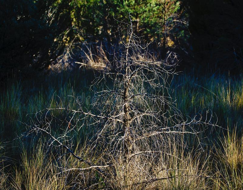 Drought-Stricken Juniper. Dry conditions in the Western United States.  Horsethief Canyon SWA is managed for the primary purpose of replacing wildlife habitat royalty free stock image