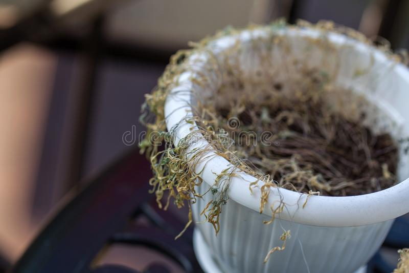Drought. Withered potted flowers. Ornamental plants in pots that fade. Withered dead brown potted houseplants. Poor plant care,. Lack of water, drought royalty free stock image