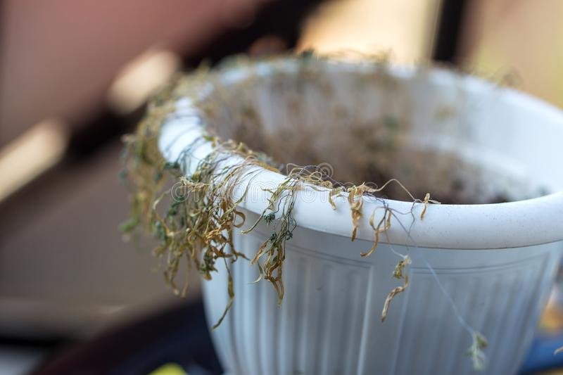 Drought. Withered potted flowers. Ornamental plants in pots that fade. Withered dead brown potted houseplants. Poor plant care,. Lack of water, drought stock photos