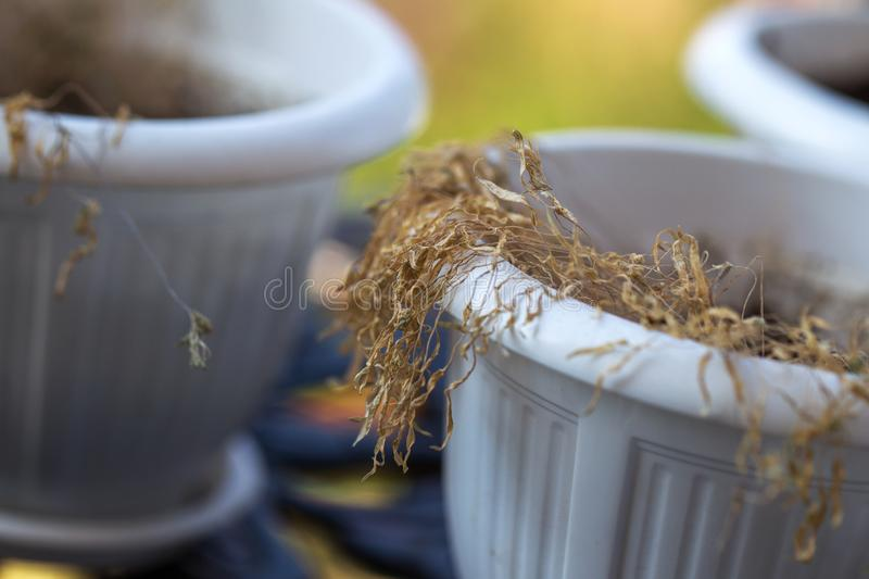 Drought. Withered potted flowers. Ornamental plants in pots that fade. Withered dead brown potted houseplants. Poor plant care,. Lack of water, drought stock photography