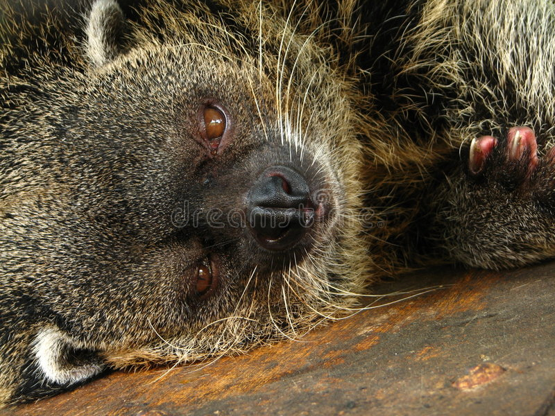 Download Drowsy Bearcat stock image. Image of species, manila, environment - 4816579