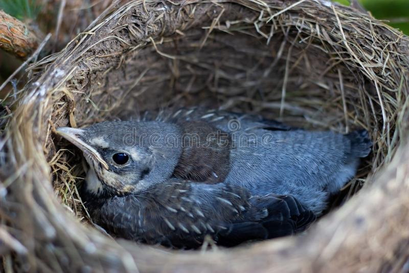 Drozda kurczątko w gniazdeczku na drzewni kurczątka w gniazdeczku na gałąź zamkniętej w górę wiosny w świetle słonecznym w obrazy royalty free