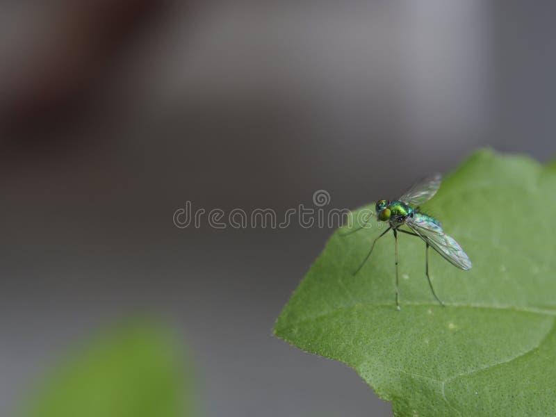 Drozofili melanogaster - komarnicy zdjęcia stock