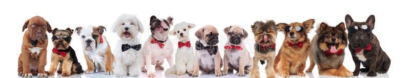 Drużyna wiele szczęśliwi dżentelmenów psy z bowties zdjęcia royalty free