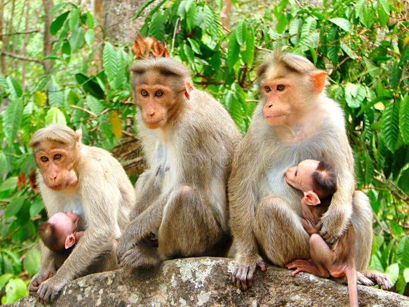 Drużynowa małpa grupa Rhesus makak - Macaca Mulatta - Różni wyrazy twarzy - obraz stock
