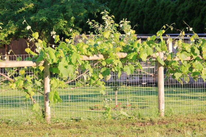 Druciana siatka i słupa poparcie dla winogradów zdjęcie stock