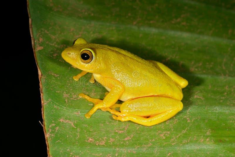 Druciarz płochy żaba obrazy royalty free