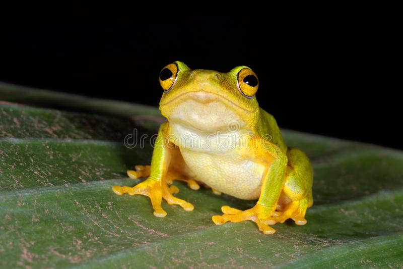 Druciarz płochy żaba obraz royalty free