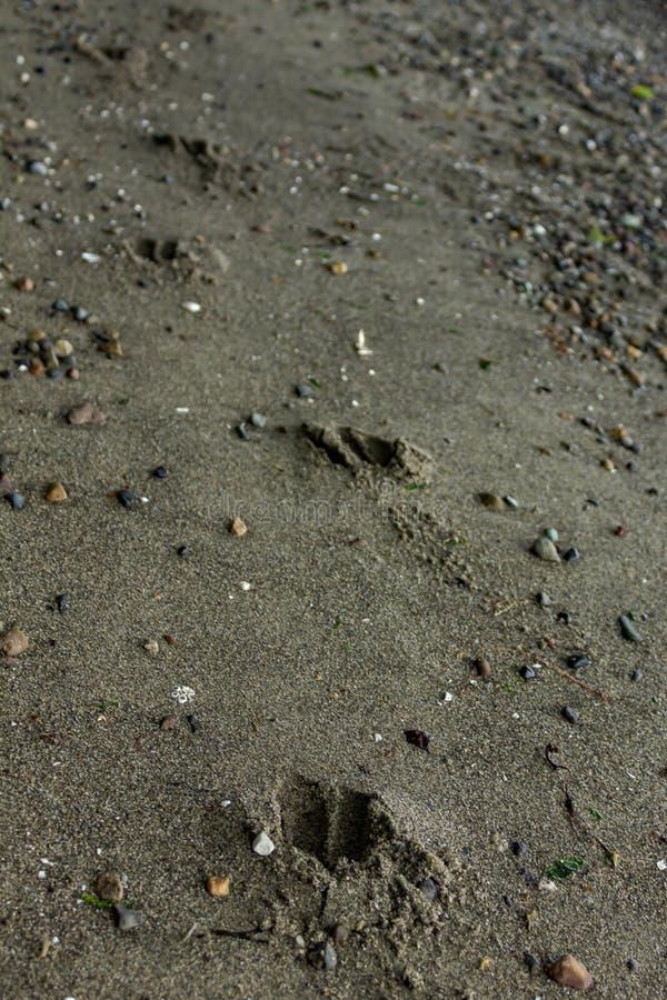 Drucke, die entlang Sand des Strandes in Washington führen stockbilder
