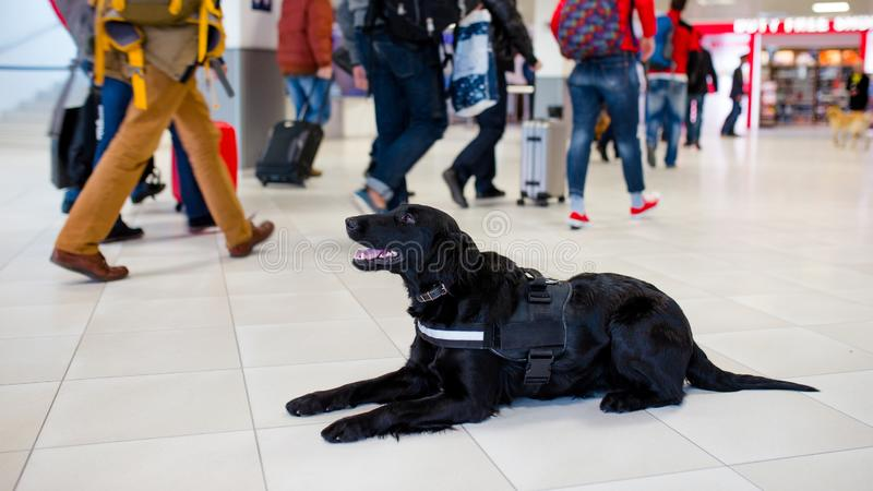 Drug detection black dog resting at the airport on the background of people.Horizontal view stock photography
