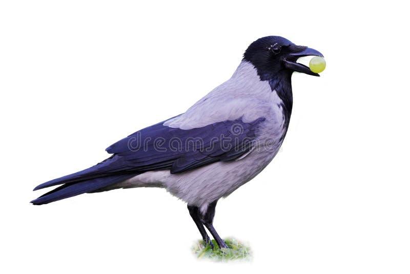 Druif de met een kap van de Kraai (Corvus Cornix) holding stock afbeeldingen
