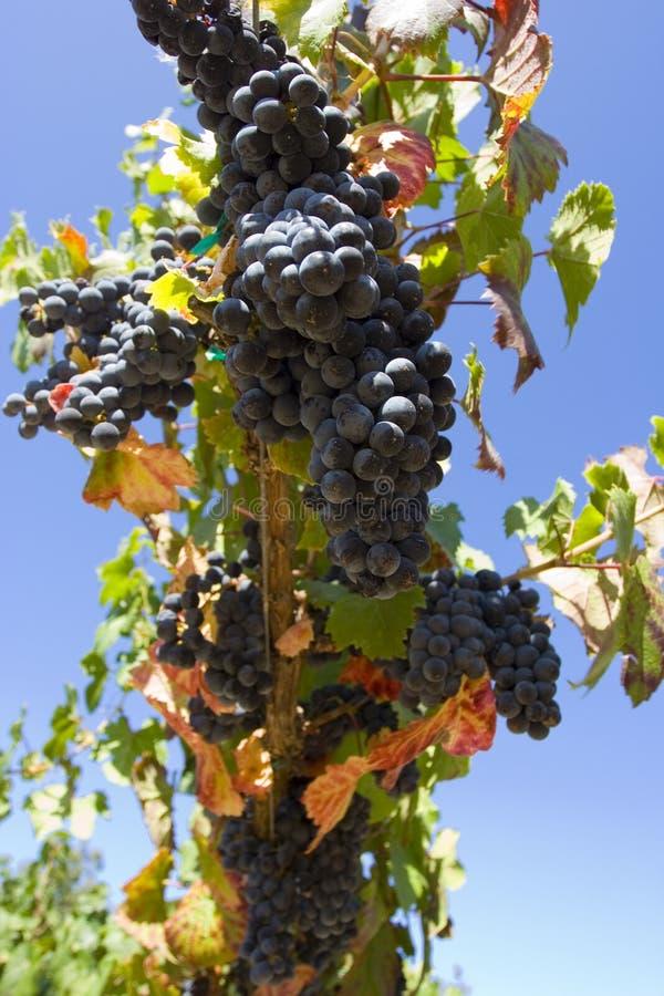 Druiven stock afbeelding