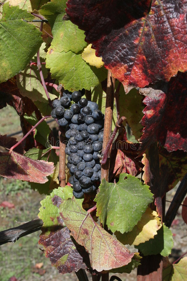Druiven in de herfst stock afbeeldingen