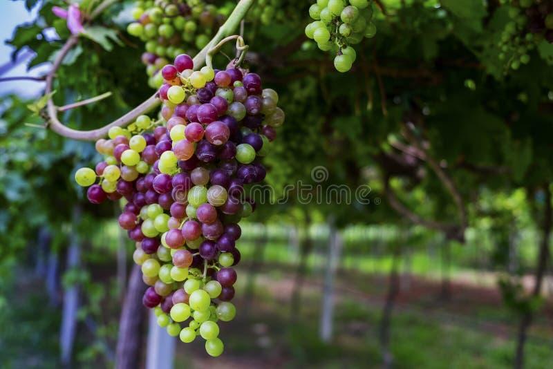 Druiven in de wijngaard royalty-vrije stock foto