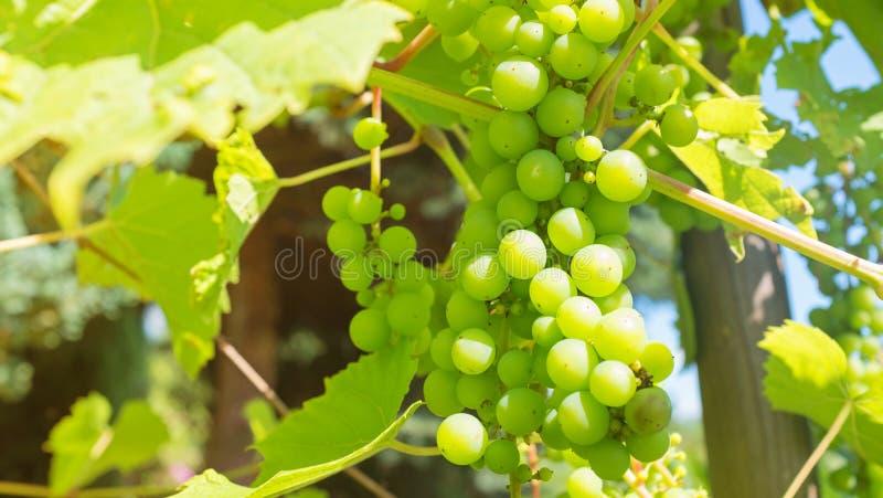 druiven die in de wijngaard rijpen stock afbeeldingen