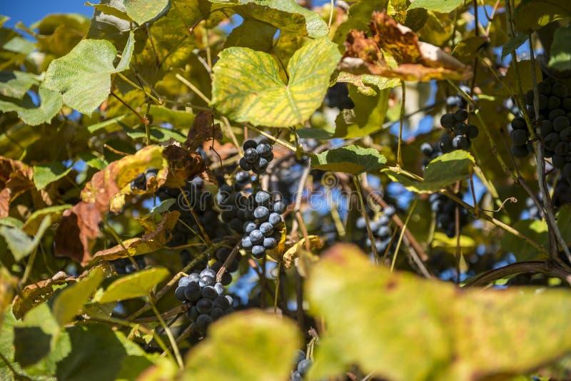Druiven die op de wijnstok groeien stock afbeeldingen