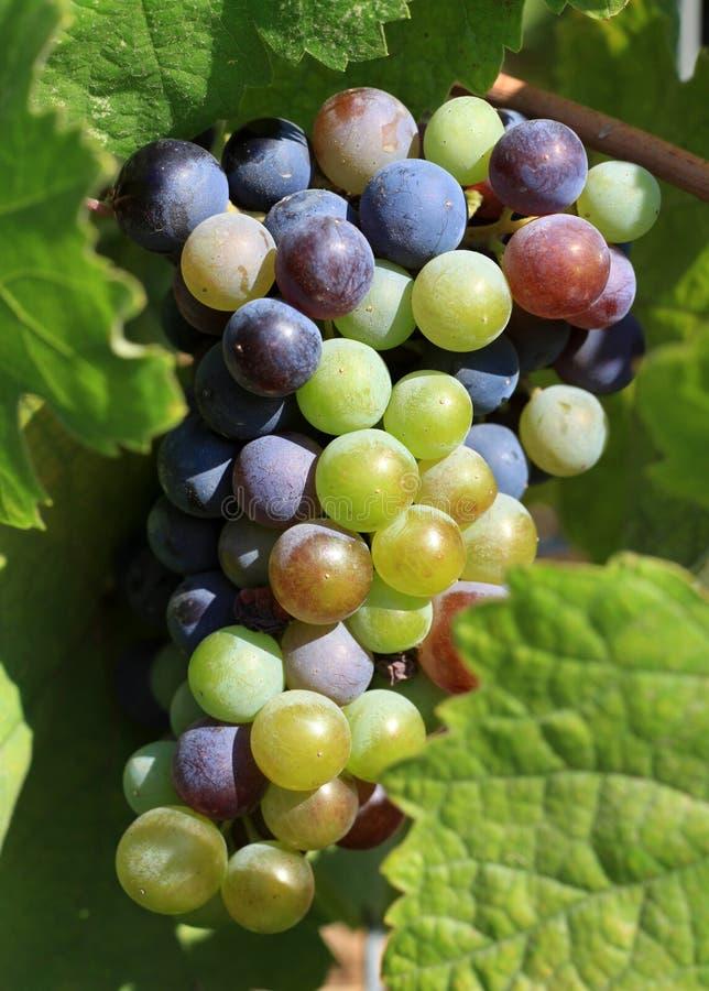 Druiven die op de wijnstok rijpen stock foto's