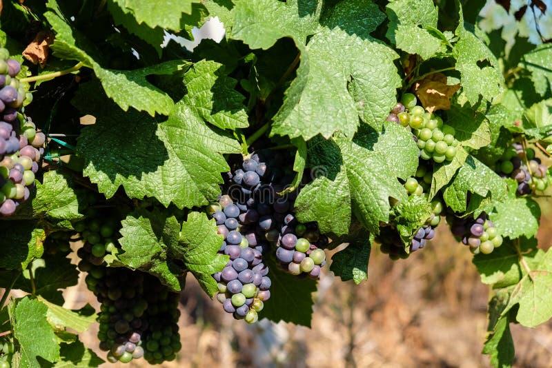 Druiven die op wijn in wijn het maken gebied hangen stock foto