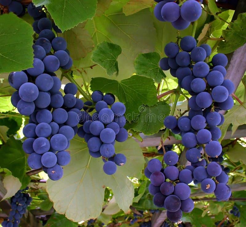 Druiven die van een Wijnstok hangen stock foto