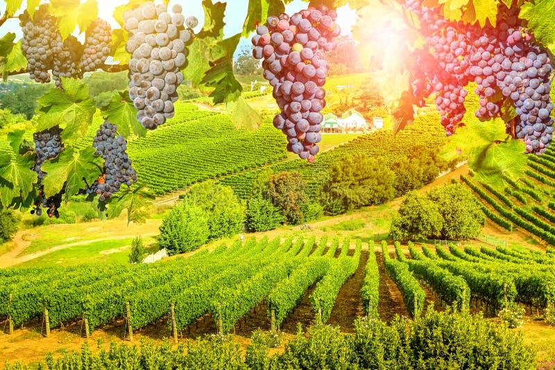 Druiven die in wijngaard hangen stock foto's