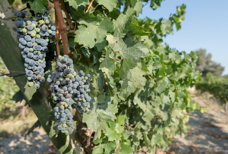 Druiven in een Wijngaard royalty-vrije stock fotografie