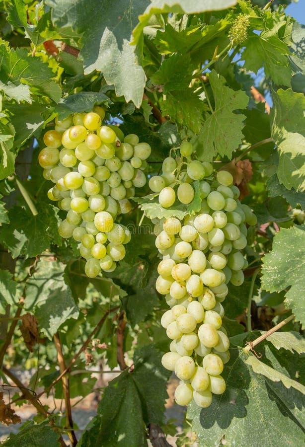 Druiven in een Wijngaard royalty-vrije stock foto's