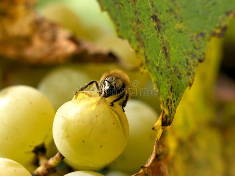 Druiven en bij royalty-vrije stock foto's