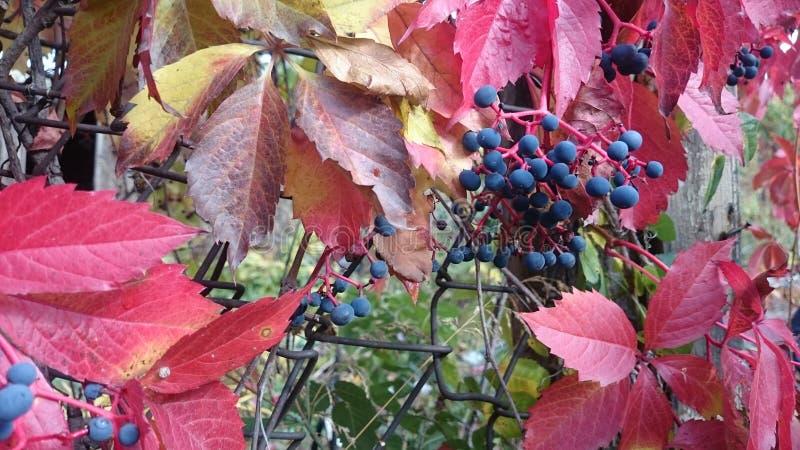 Druiven in het midden van de herfst stock foto