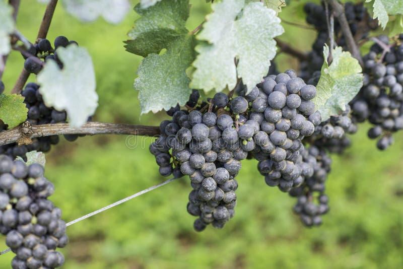 Druiven klaar om voor de volgende wijnproductie worden geoogst royalty-vrije stock afbeelding