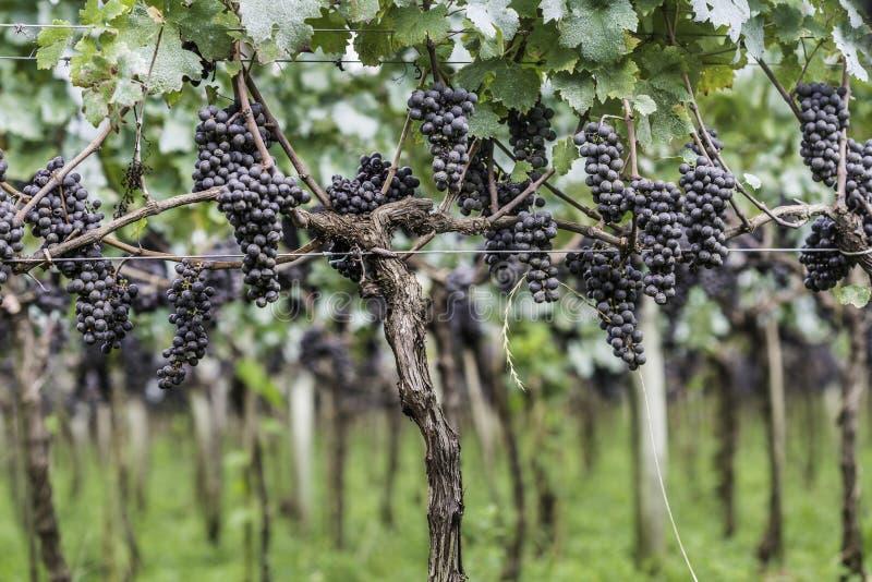 Druiven klaar om voor de volgende wijnproductie worden geoogst royalty-vrije stock afbeeldingen