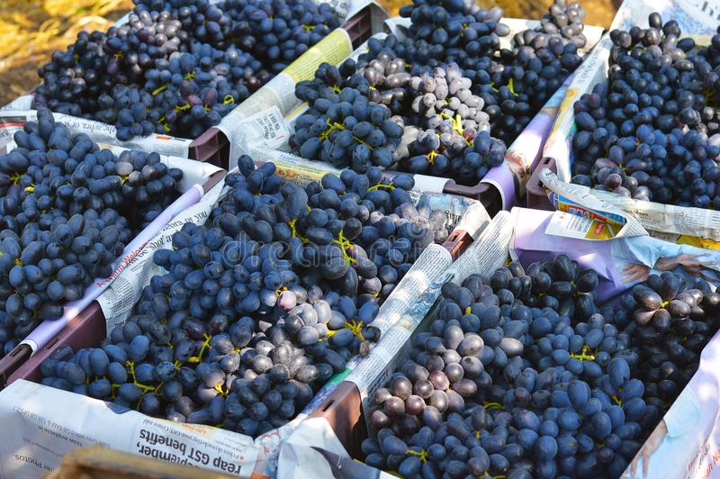 Druiven klaar voor verkoop na het oogsten dichtbij Sangli, Maharashtra stock afbeelding