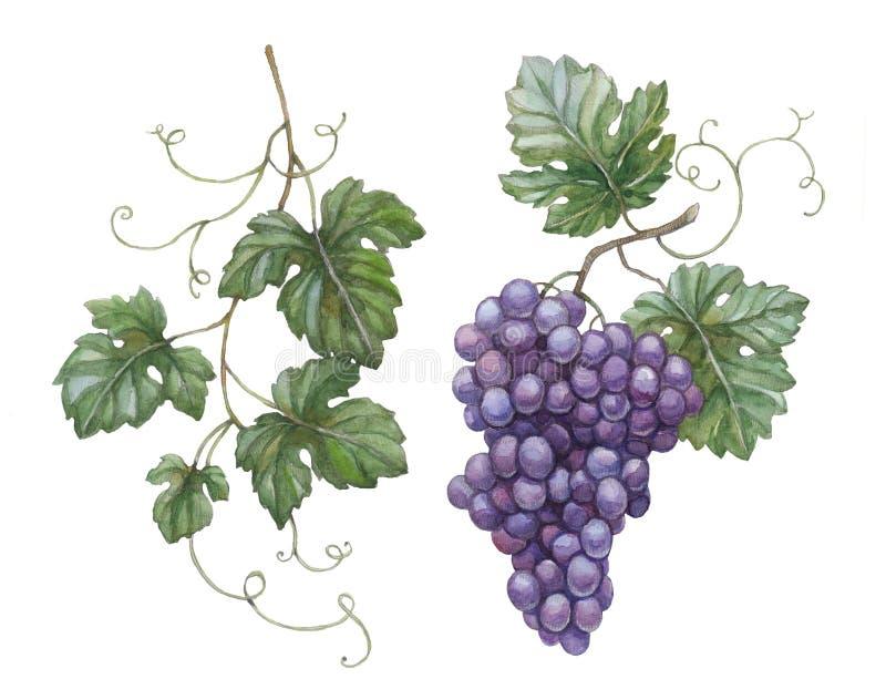 Druiven met bladeren stock illustratie